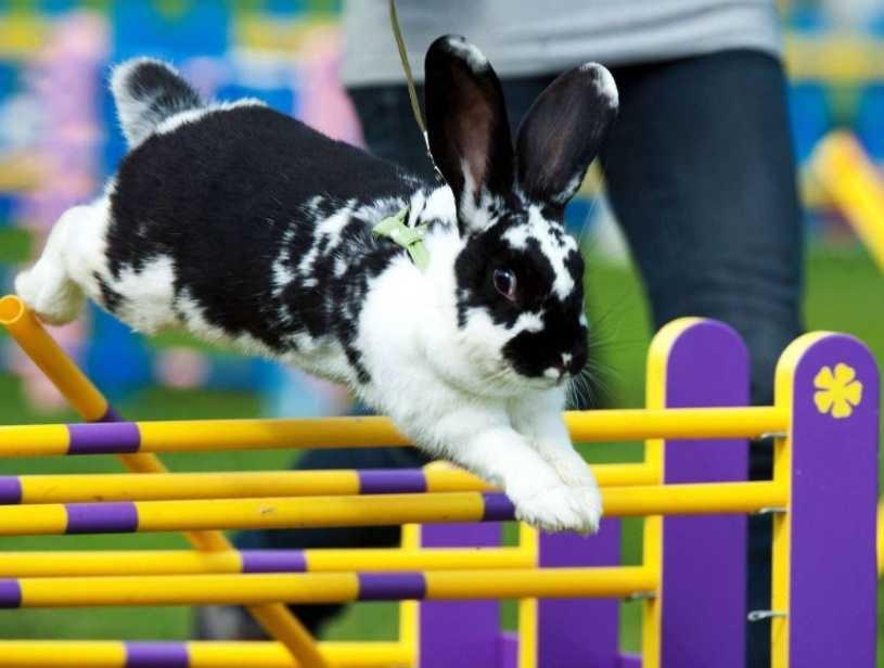 """İsveç'te """"Kaninhoppning"""" adı verilen bir yarışmada tavşan sıçrama yarışı düzenlenir"""