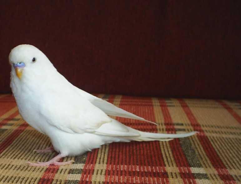 Yavru muhabbet kuşu bakımı