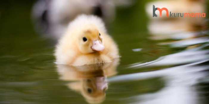 yavru ördek bakımı
