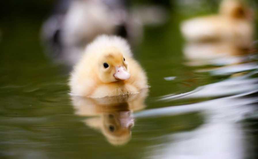 Yavru Ördekler Nasıl Beslenir?
