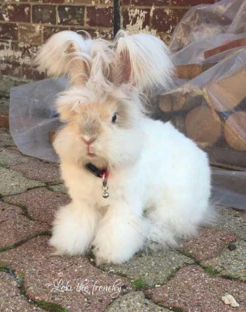 Ankara Tavşanı ırkı