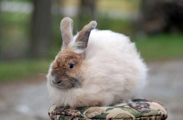 Ankara Tavşanı ırkı (Angora Tavşanı)