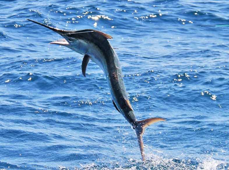Black marlin (Istiompax indica)