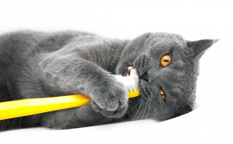 Kedilerde Diş Bakımı Nasıl Yapılır?