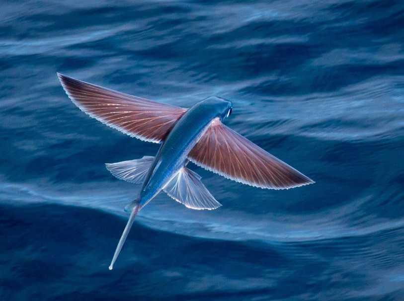 Uçan balıklar