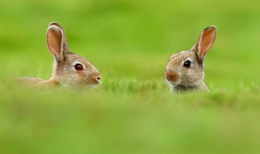 Yavru tavşanlara nasıl bakılır?