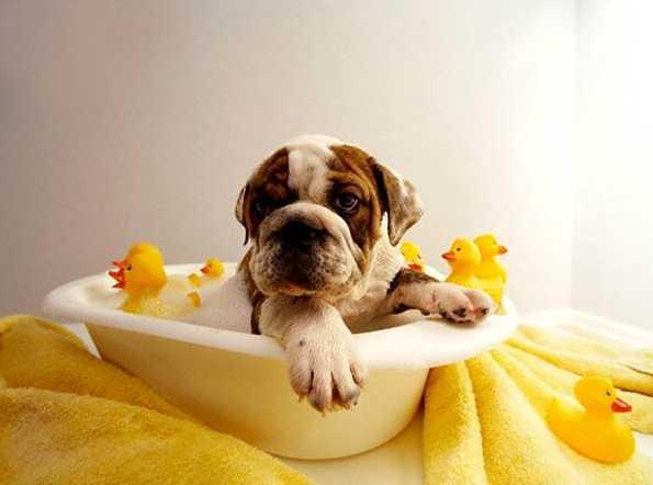Köpekler banyoyu sever mi?