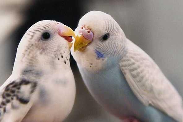 Muhabbet kuşlarında ishal neden olur?
