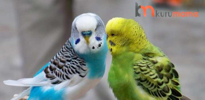muhabbet kuşu yemi