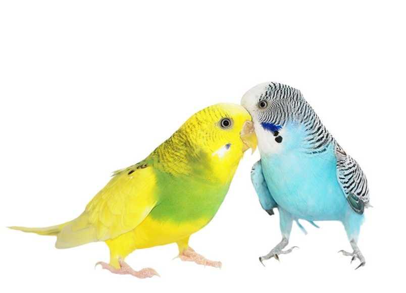 En iyi muhabbet kuşu yemleri