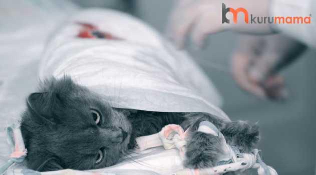erkek kedilerde kısırlaştırmaa