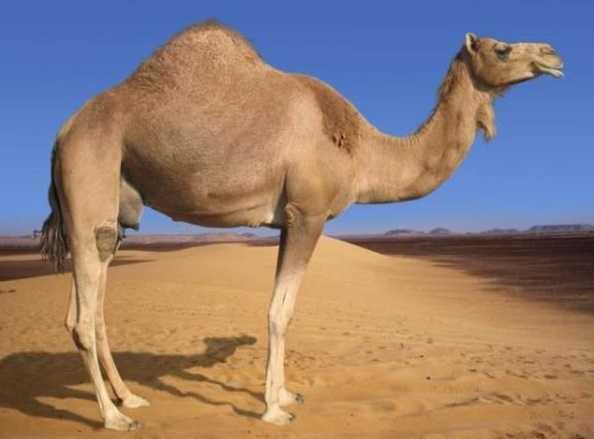 Evcil tek hörgüçlü deve