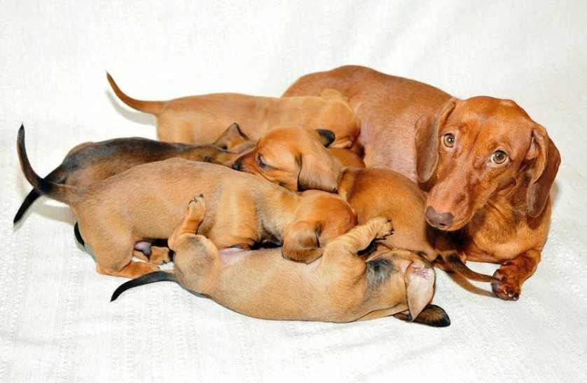 Köpeklerde evde doğum