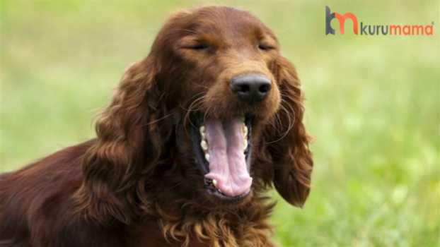 köpeklerde öksürük