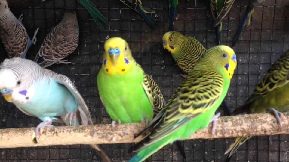 Muhabbet kuşları evde en çok ne kadar süre yalnız bırakılabilir?