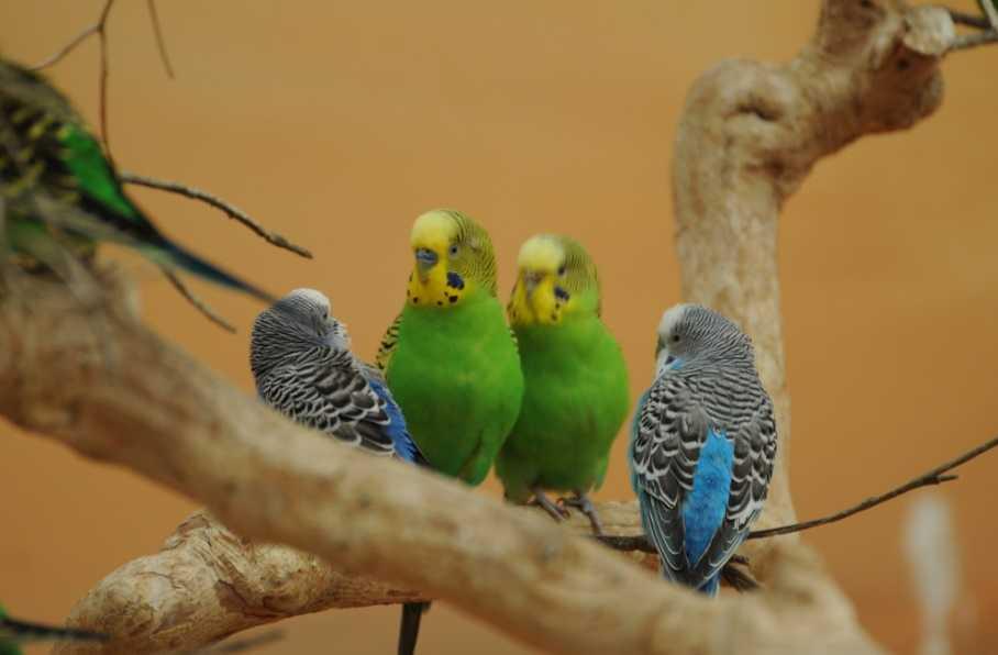 Muhabbet kuşları konuşmayı ne kadar sürede öğrenir?
