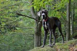 Great Dane (Danua) Köpeği