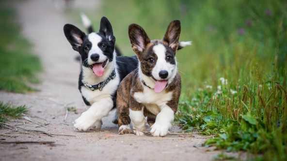 Acana yavru köpek maması