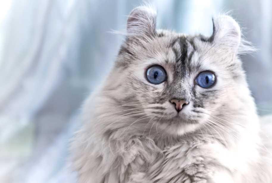 American Curl Kedileri