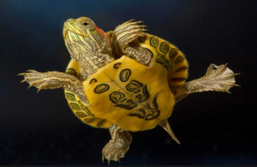Kırmızı Yanaklı Su Kaplumbağası