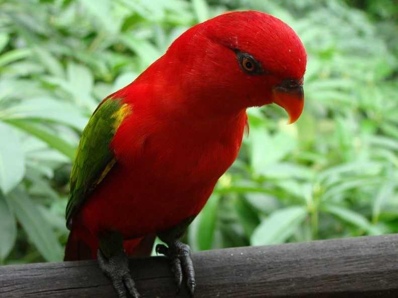Lori kuşu
