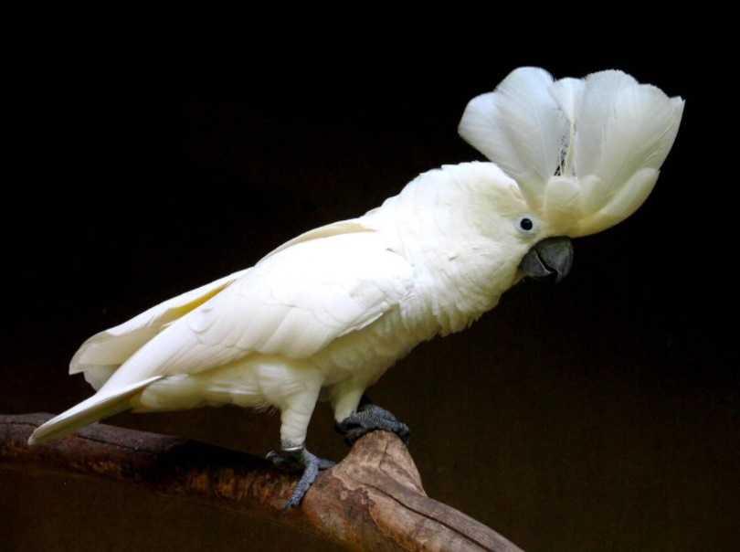 Şemsiye Kakadu Papağanı