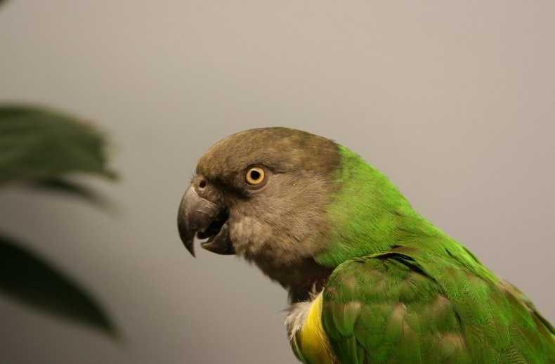 Şengal Papağanı