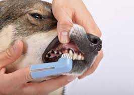 köpeklerde diş sorunları