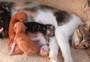 kedilerde evde doğum