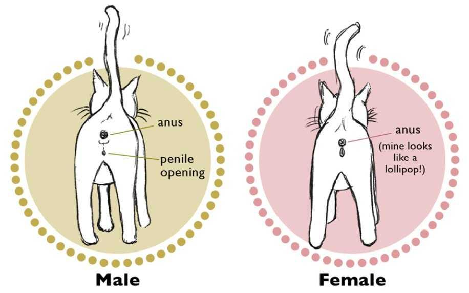 kedilerin cinsiyeti nasıl anlaşılır
