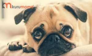 köpeklerde göz hastalıkları