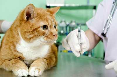 kedilerde aşı