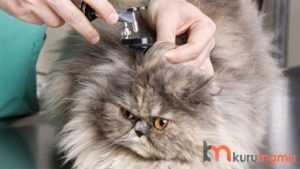 kedilerde iç kulak iltihabı