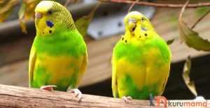 muhabbet kuşu tırnağı nasıl kesilir