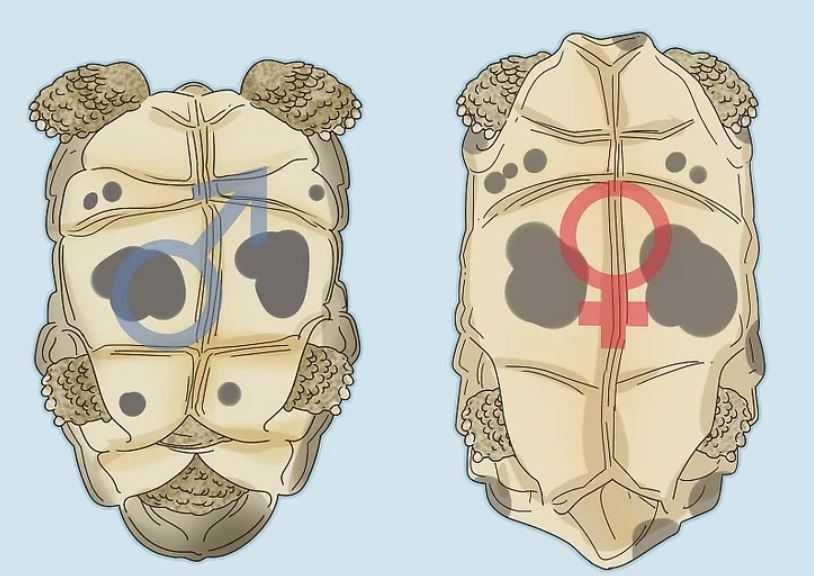 kaplumbağa cinsiyeti nasıl anlaşılır