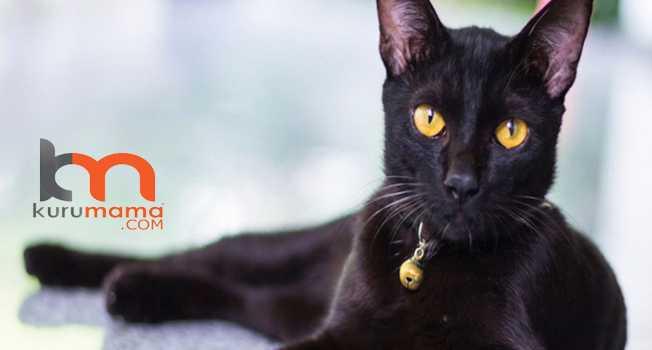 En uzun yaşayan kedi ırkları