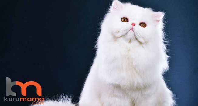 Kedinizin Sizi Sevdiğini Gösteren 5 Hareketi