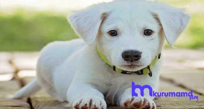 1-2 haftalık yavru köpekler