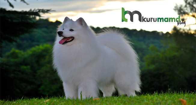 Amerikan Eskimo Köpek Cinsinin Eğitim Tasması