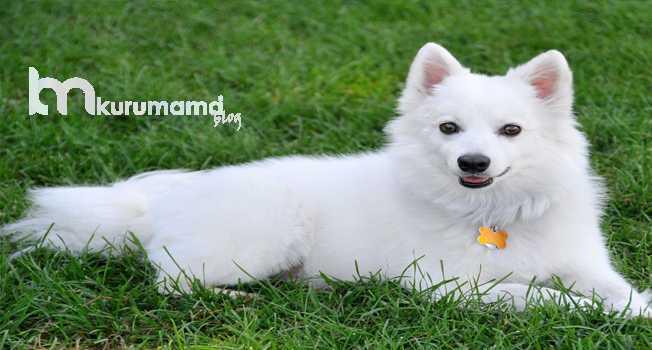 Amerikan Eskimo Cinsi Köpeğin Özellikleri