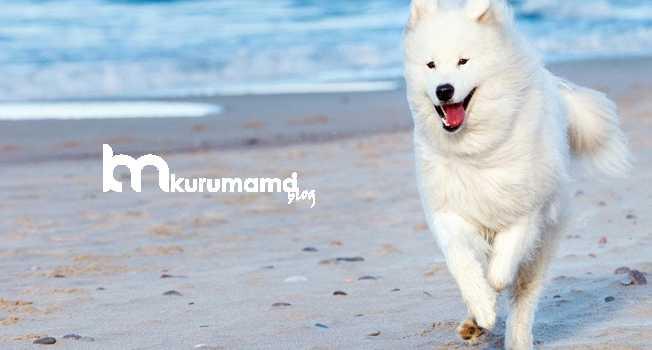 Amerikan Eskimo Köpeğinin Bakımı