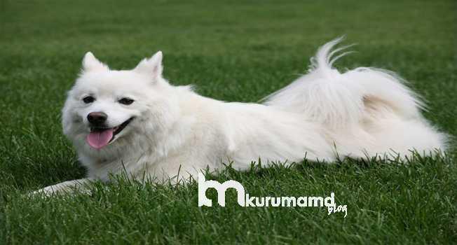 Amerikan Eskimo Köpeklerinin Tarihi ve Kökeni