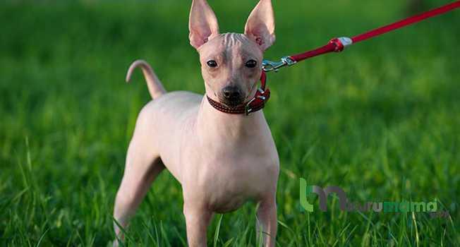 Hairless Chinese Crested Köpeği ve Özellikleri