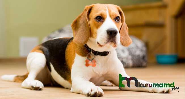 Beagle bakımı