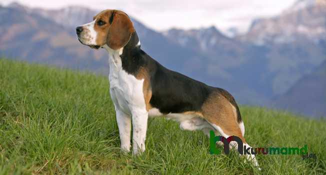 Beagle beslenme
