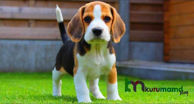 Beagle kişiliği