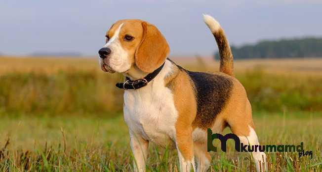 Beagle sağlık