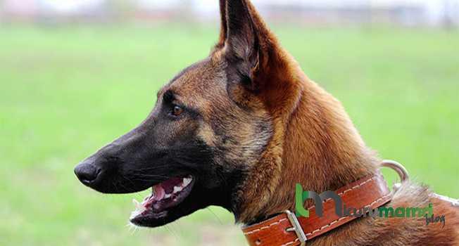 Belçika çoban köpeği beslenme