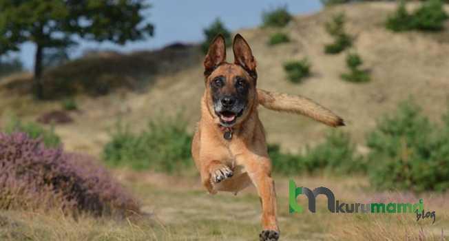 Belçika çoban köpeği sağlık