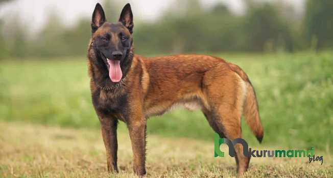 Belçika Çoban Köpeği Özellikleri